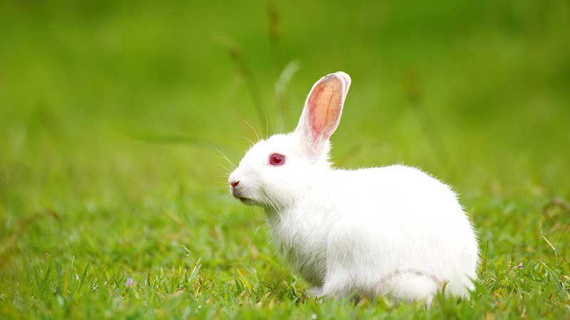 تولارمی یا تب خرگوش